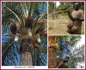 Palm wine pics; bottles filling, tappers with equipment.