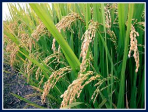 Rice growing mentioned in Buhari's first year review