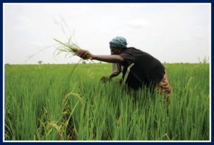 Not Buhari's first year review; rice in Mali