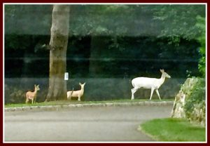 Albino deer in Westport
